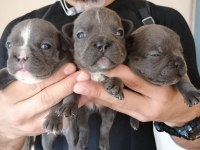 BURSA SAHİBİNDEN FRENCH BULLDOG BLUE